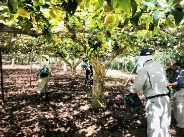 梨の木イメージ